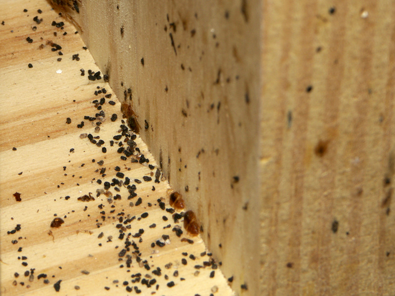 Little Black Bugs Bed Bugs
