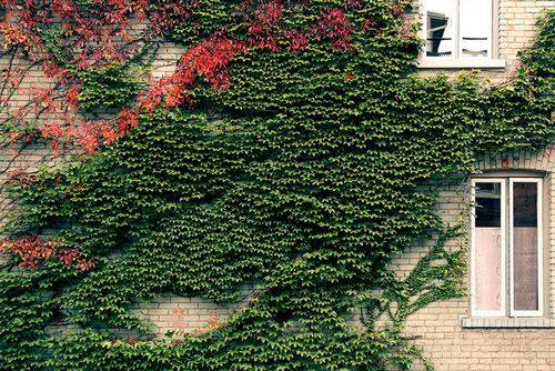 Ivy on brick walls